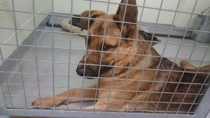 GSD at Toronto Animal Services