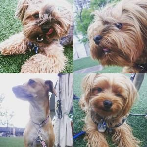 yorkies and street dog