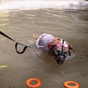 muzzled rescue pitbull