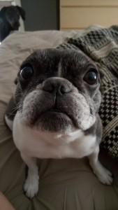Moshi the French Bulldog