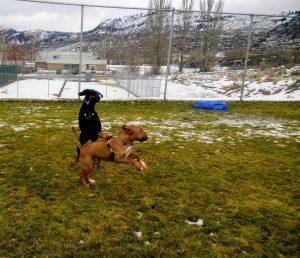 Doberman and Bull terrier at dog park, Osoyoos BC